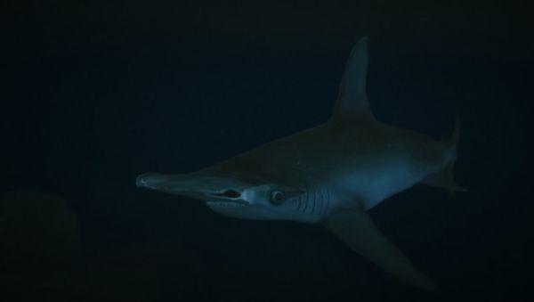 Акула-молот в GTA 5